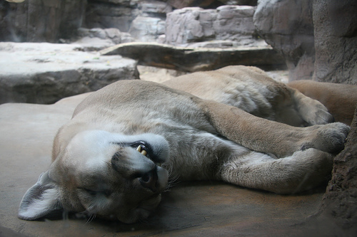 sleeping-mountain-lion